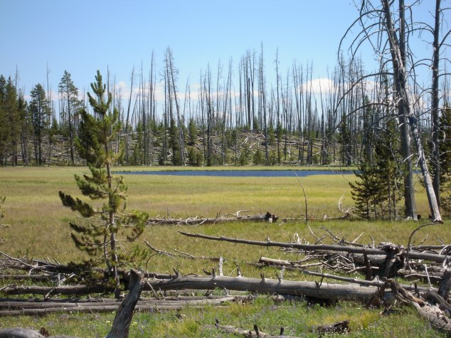Wildfire recovery area, Yellowstone National Park, July 2011